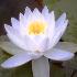 Egyptian lotus flower