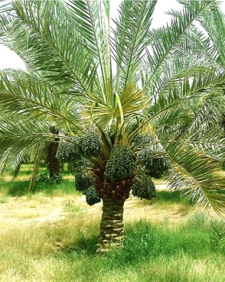 A palm tree in the Middle East
