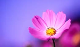 Bible study activities: Mauve flower against blue background