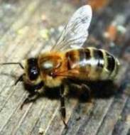 The name 'Deborah' means 'bee'