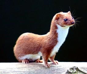 'Huldah' means 'weasel'