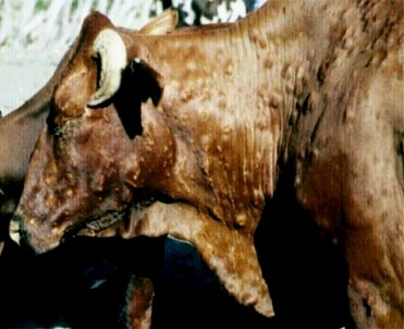 Moses and the Ten Plagues of Egypt. Photograph of a cow with a skin disease; it would be unwise to eat the flesh of this animal, or drink its milk