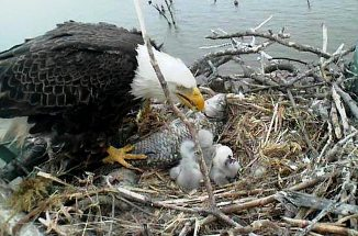 God is Guide and Protector. Eagle feeding a fish to its young