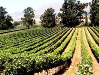 A lush vineyard