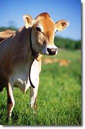 A beautiful Jersey heifer