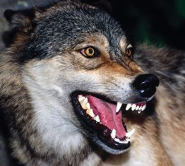 Wolf with bared teeth
