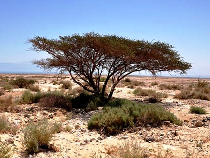 Acacia tree in the desert, photograph by F. Jenkins