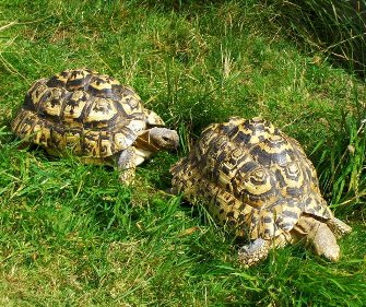 A pair of turtles