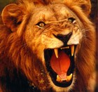 Lion roaring, with bared teeth; Samson was said to have killed one with the jawbone of an ass
