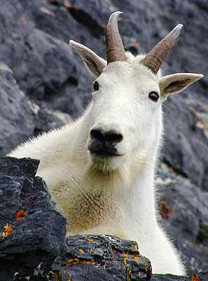 Worst sins in the Bible: sex with animals. Photograph of a mountain goat