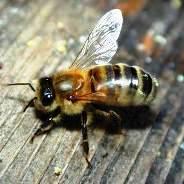 Deborah in the Bible: A large bee