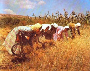 Group of peasant women harvesting a grain crop