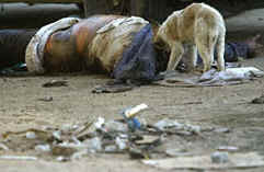 BIBLE WOMEN: JEZEBEL: A stray dog eating a corpse in Iraq.