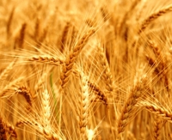 Bible murders: Cain kills Abel. Ripe ears of golden wheat