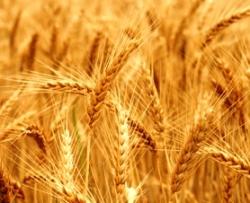 Bible murders: Cain kills Abel. Ripe ears of golden wheat