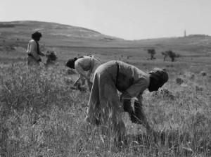 Middle Eastern men harvesting grain in a good season