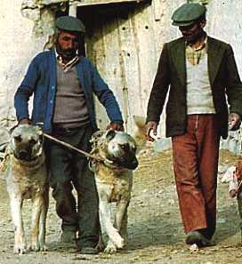 Dogs in the Bible: Kangal dogs used to guard sheep and goat herds and protect them from predators such as wolves and jackals