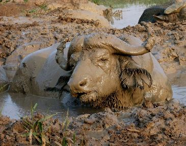 Buffalo trapped in mud
