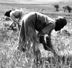 Men harvesting grain