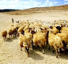 Dictionary, explanations: nomadic herdsman
