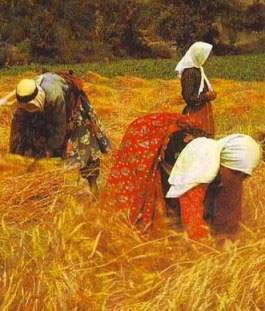 Gleaning in the fields at harvest time