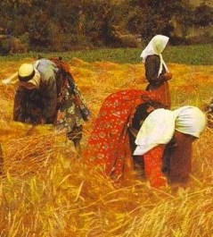Women gathering in the grain harvest