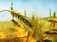 Parable of the Sower: ripe seed at harvest time