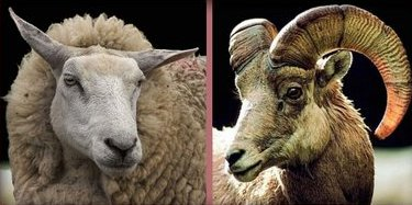 Clean & unclean food. A sheep and a goat, both 'clean' meat.