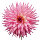 A pink dahlia in full bloom