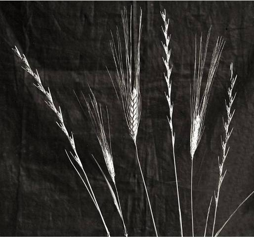 Parable of the Sower: photograph of wheat and tares: spot the difference