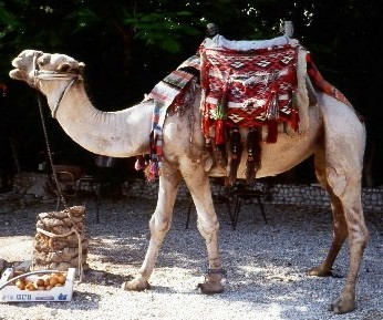 Camel with ornate saddle