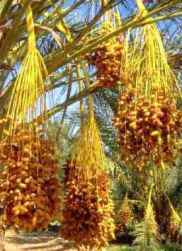 Date palm, heavily loaded with clusters of dates; dates were a symbol of fertility