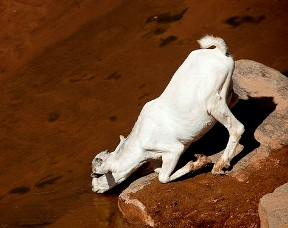 White goat drinking water from a stream