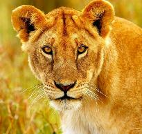 lioness-anna-omelchenko