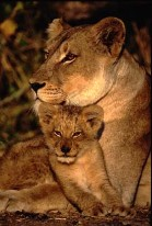Photograph of lioness and cub by Chris Humphreys http://www.photo-seminars.com/Seminars/wildlife/wildlife.html