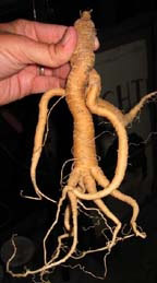 A mandrake root, supposedly with the power to increase sexual potency