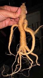 A mandrake root