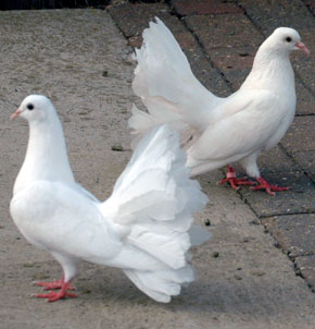 Pigeons or doves were often offered as sacrifice to God