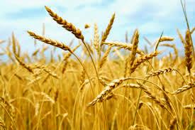 Ripe grain crop. The Samaritan woman, the woman at the well