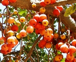 Bible Book of Amos: ripe sycamore fruit