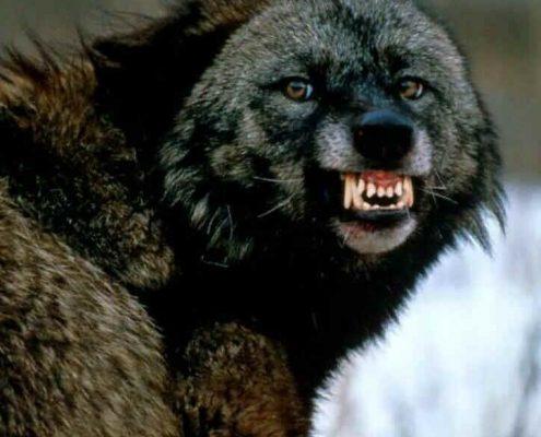 Bible Bad Men: NEBUCHADNEZZAR (image of a snarling bear
