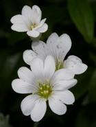 White 'angel' flowers