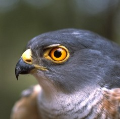 Fierce-eyed hawk, symbol of Masada