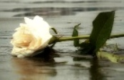 Broken rose in mud