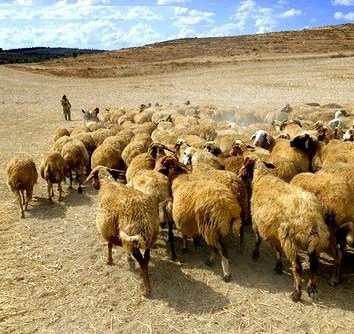 Beersheba ancient city: nomadic shepherd and flock in an arid landscape