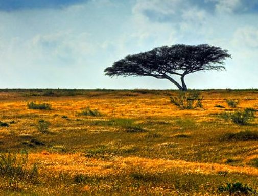 Beersheba ancient city: a lone tamarisk tree, symbol of Abraham's ownership of the well