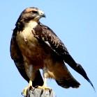 Masada hawk