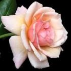 Rachel the beloved - a rose