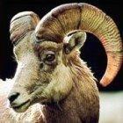 Kosher food: a goat