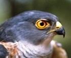 Deborah symbol a hawk